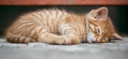 Young Orange Cat