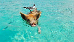 Seagull on Swimming Pig Head