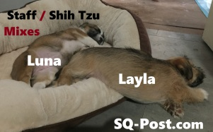 Staff / Shih Tzu Mix Puppy Dogs (Luna & Layla)