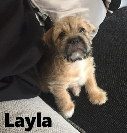 Layla Staff Shih Tzu Mix Dog