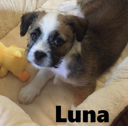 Luna Staff Shih Tzu Mix Dog