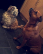 Shih Tzu and Staffordshire Bull Terrier Dogs