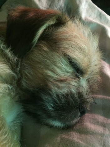 Shih Tzu Staff Mix Pups - Layla - Layla (1)