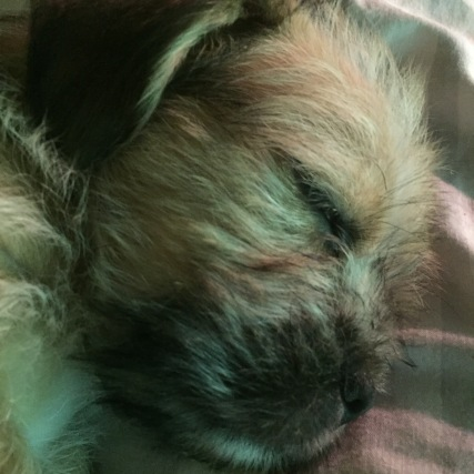 Shih Tzu Staff Mix Pups - Layla - Layla (1)