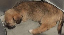 Shih Tzu Staff Mix Pups - Layla - Layla (2)