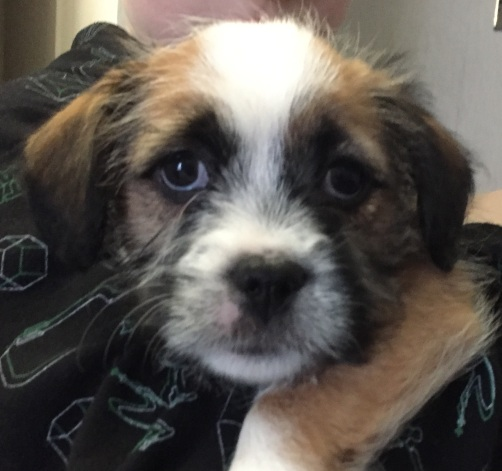 Shih Tzu Staff Mix Pups - Layla - Luna (1)