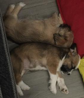 Shih Tzu Staff Mix Pups - Layla - Luna (2)