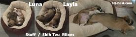Staff Shih Tzu Mix Pups - Luna - Layla