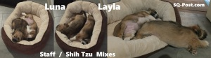 Staff Shih Tzu Mix Pups - Luna - Layla